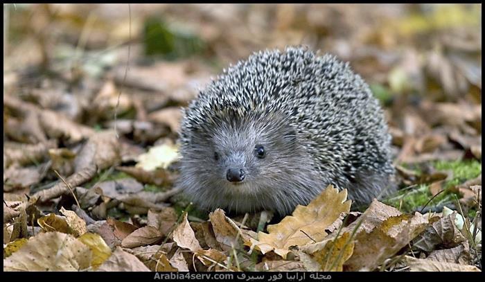 صور-حيوان-القنفذ-hedgehog-1