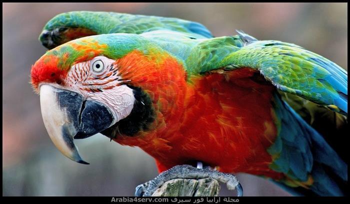صور-طائر-الببغاء-جميلة-رائعة-جديدة-3