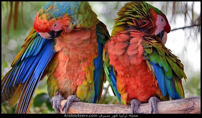 صور-طائر-الببغاء-جميلة-رائعة-جديدة-8