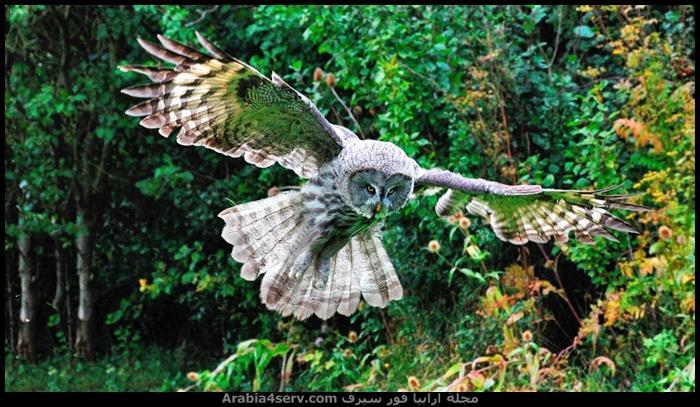 صور-طائر-البومة-3
