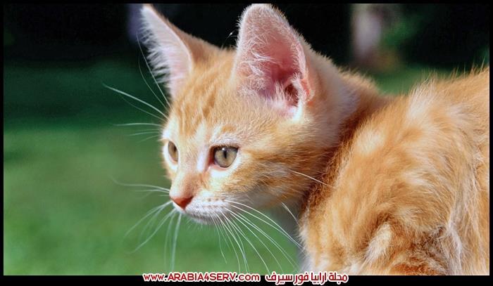 صور-قطط-صفراء-و-بيج-جميلة-كيوت-1
