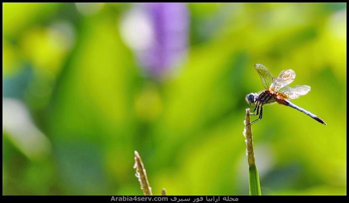 صور-نادرة-احترافية-لليعسوب-Dragonfly-1