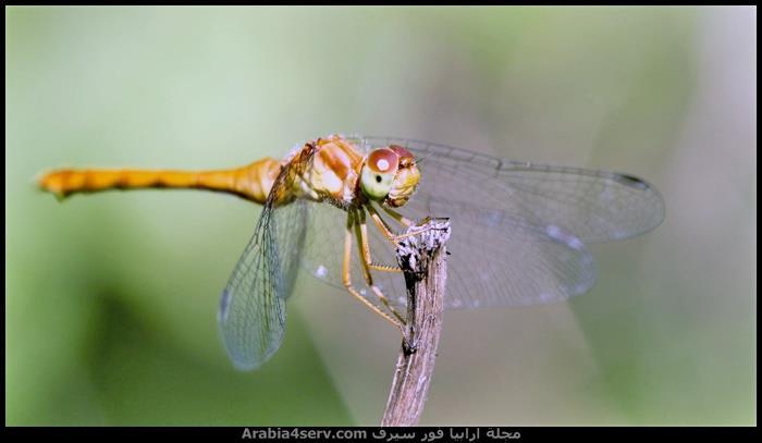 صور-نادرة-احترافية-لليعسوب-Dragonfly-3
