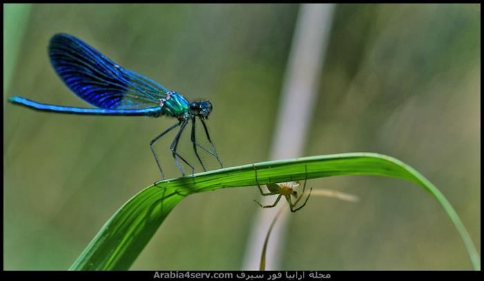 صور نادرة احترافية لليعسوب Dragonfly