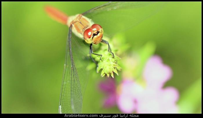 صور-نادرة-احترافية-لليعسوب-Dragonfly-7