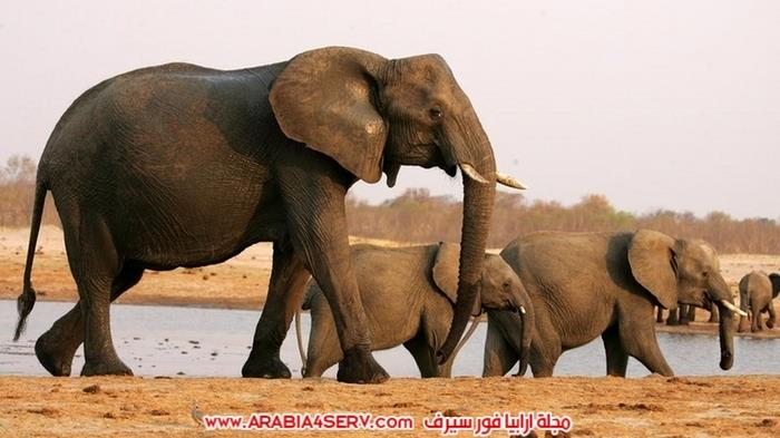 افيال برية