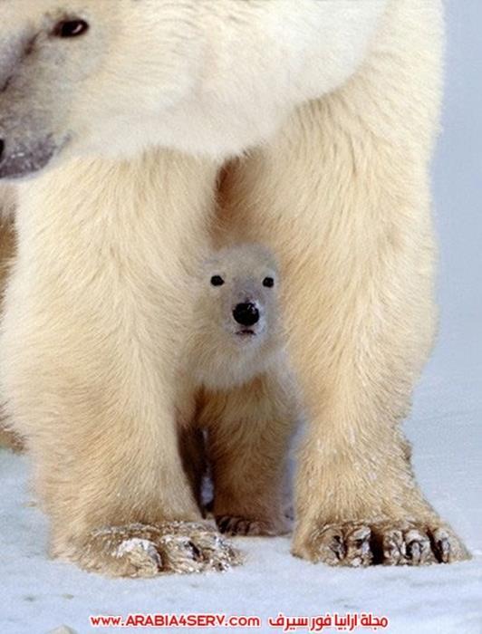 صور-حيوان-الدب-القطبي-10