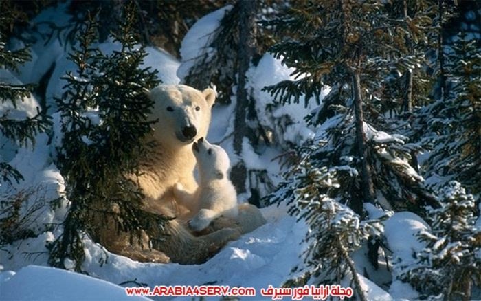 صور-حيوان-الدب-القطبي-11