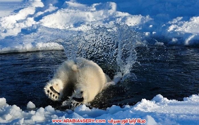 صور-حيوان-الدب-القطبي-12