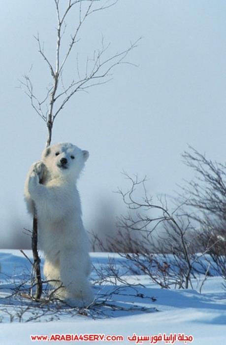 صور حيوان الدب القطبي