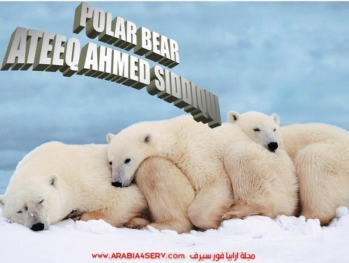صور-حيوان-الدب-القطبي-2