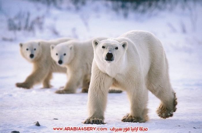 صور-حيوان-الدب-القطبي-3