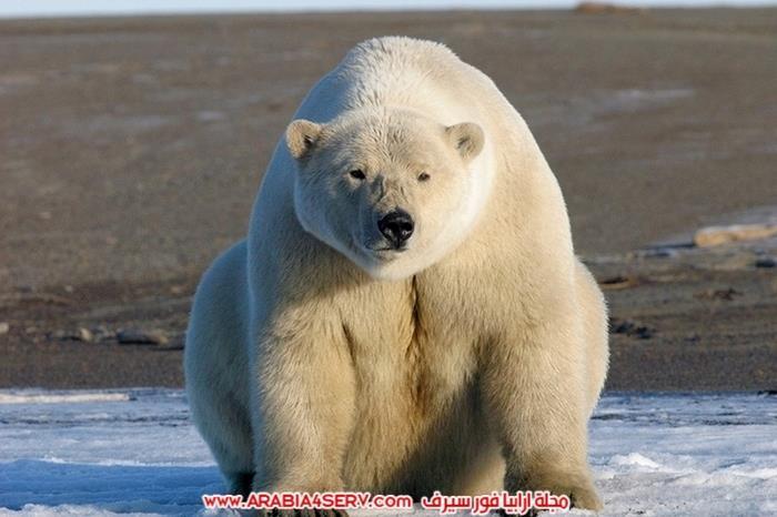 دب قطبي ضخم