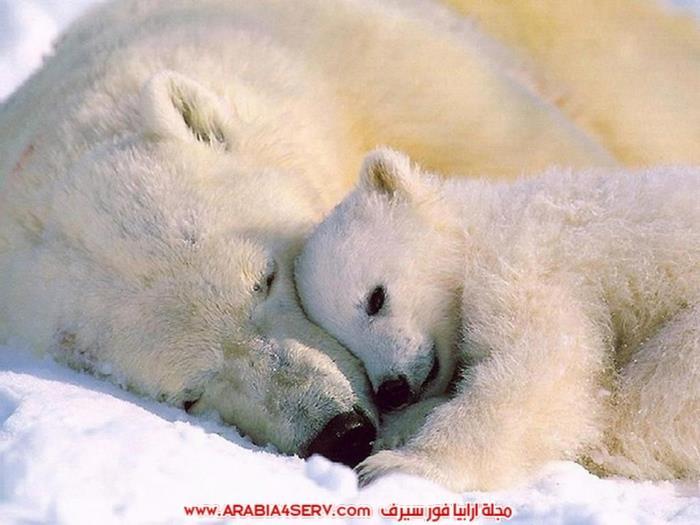 صور-حيوان-الدب-القطبي-5