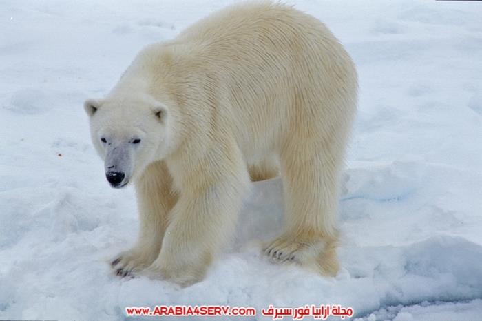 صور-حيوان-الدب-القطبي-6