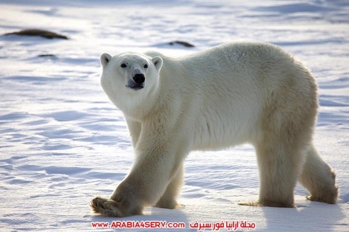 صور-حيوان-الدب-القطبي-7