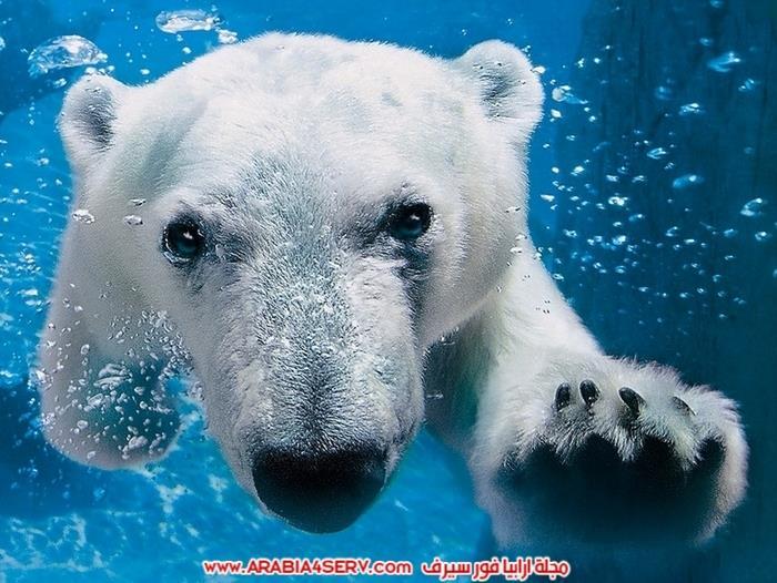 صور-حيوان-الدب-القطبي-8