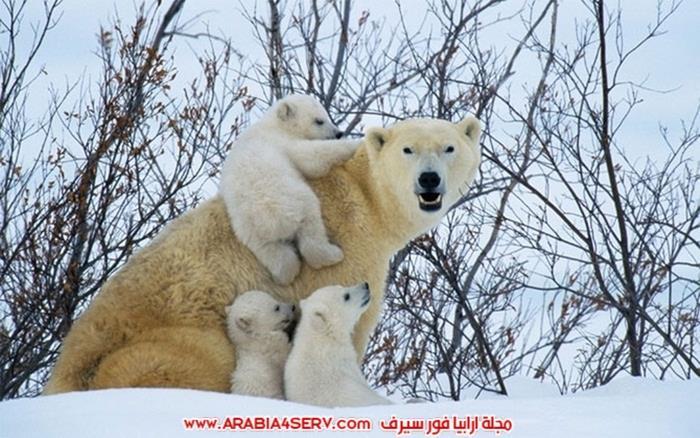صور-حيوان-الدب-القطبي-9