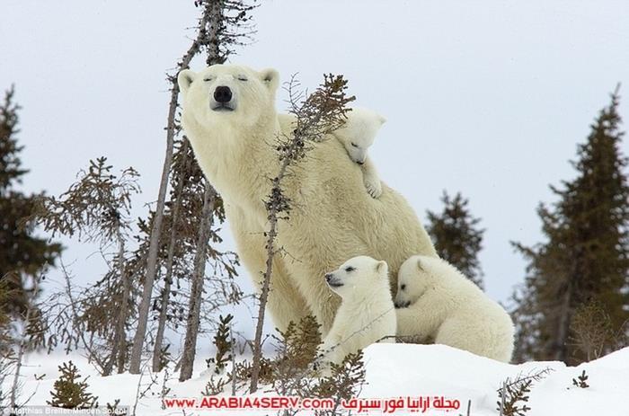 صور-صغير-الدب-القطبي-مع-امه-1