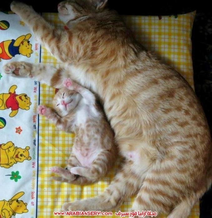 صور-قطط-كبلز-جميلة-روعة-رومانسية-كيوت-10