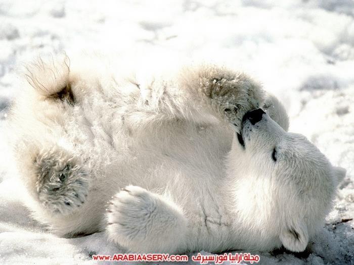 صور-متنوعة-جميلة-للدب-القطبي-الأبيض-1