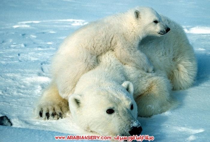صور-متنوعة-جميلة-للدب-القطبي-الأبيض-10
