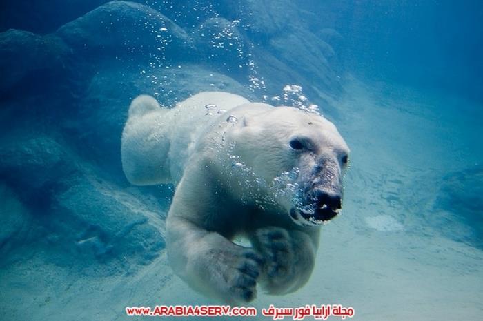صور-متنوعة-جميلة-للدب-القطبي-الأبيض-11