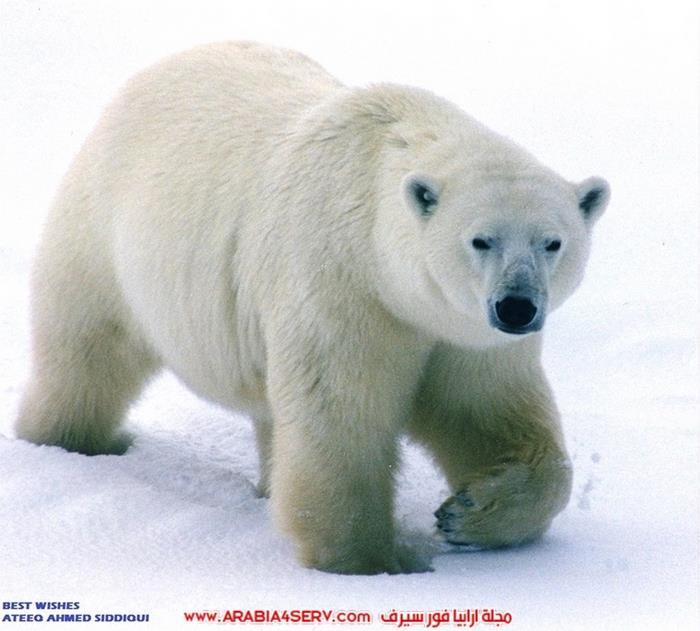 صور-متنوعة-جميلة-للدب-القطبي-الأبيض-13