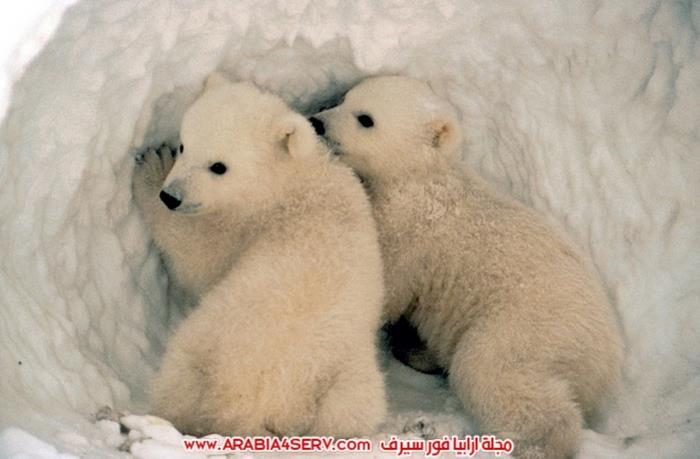 صور-متنوعة-جميلة-للدب-القطبي-الأبيض-14