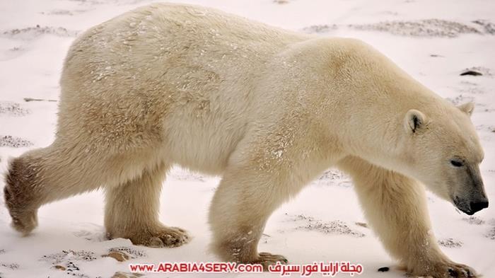 صور-متنوعة-جميلة-للدب-القطبي-الأبيض-16