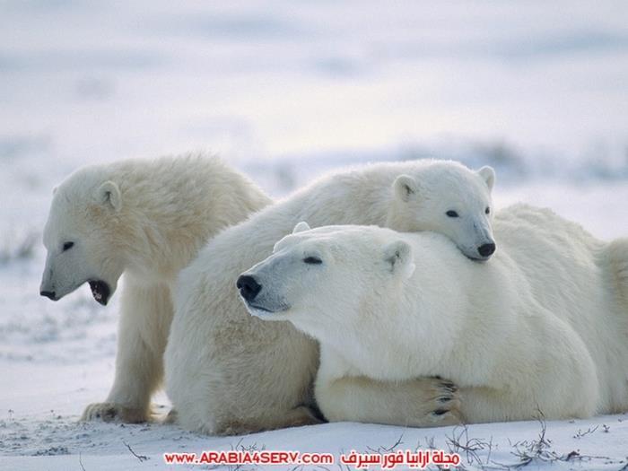 صور-متنوعة-جميلة-للدب-القطبي-الأبيض-17