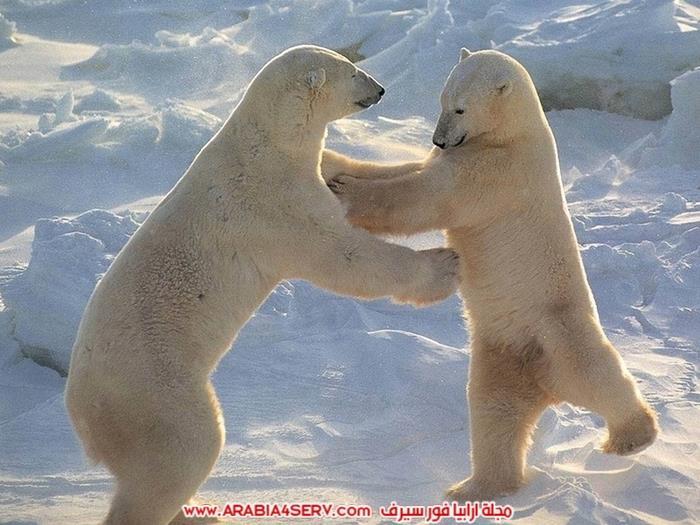 صور متنوعة جميلة للدب القطبي الأبيض
