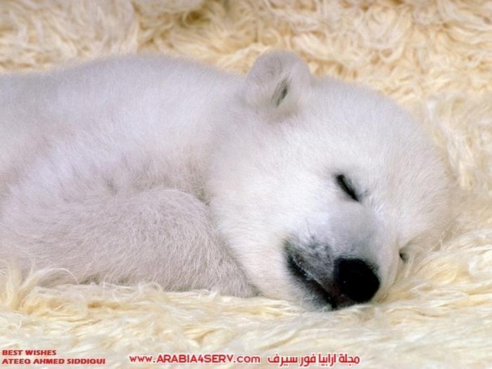 صور-متنوعة-جميلة-للدب-القطبي-الأبيض-2