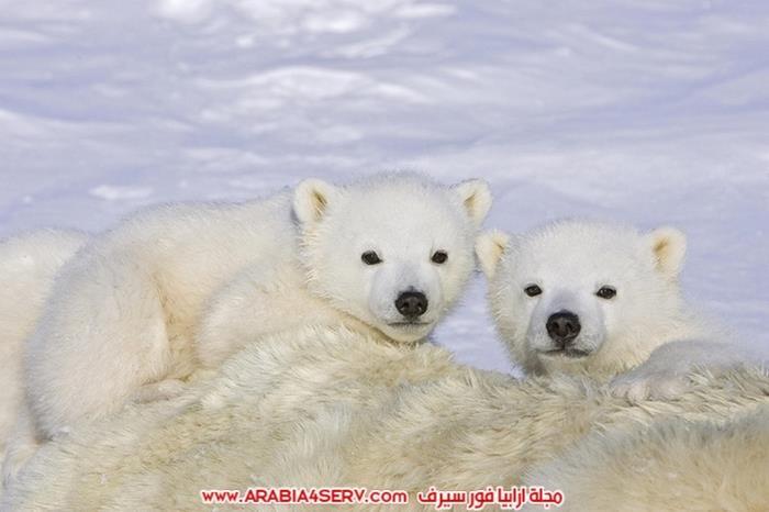 صور-متنوعة-جميلة-للدب-القطبي-الأبيض-22