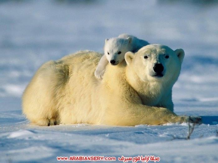 صور-متنوعة-جميلة-للدب-القطبي-الأبيض-3