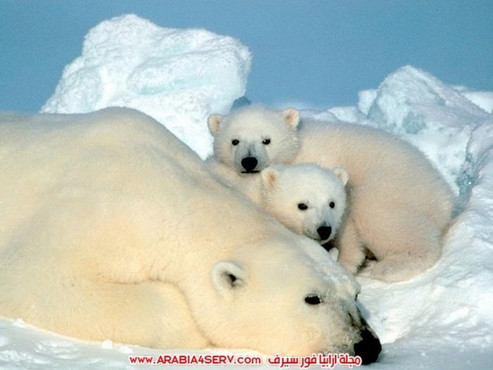 صور-متنوعة-جميلة-للدب-القطبي-الأبيض-4