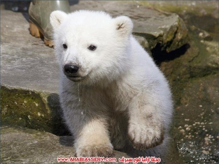 صور-متنوعة-جميلة-للدب-القطبي-الأبيض-5