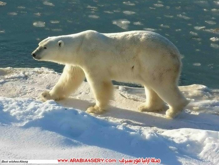 صور-متنوعة-جميلة-للدب-القطبي-الأبيض-6