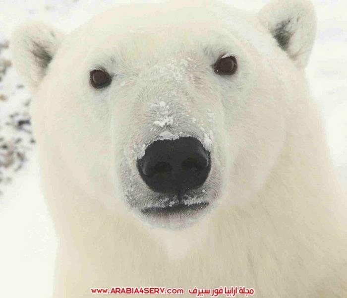 صور-متنوعة-جميلة-للدب-القطبي-الأبيض-9