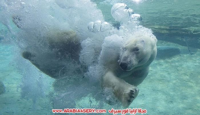 صور-حيوان-الدب-القطبي-1