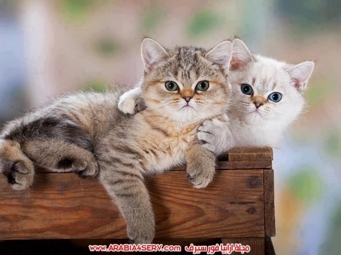 صور قطط كبلز جميلة روعة رومانسية كيوت