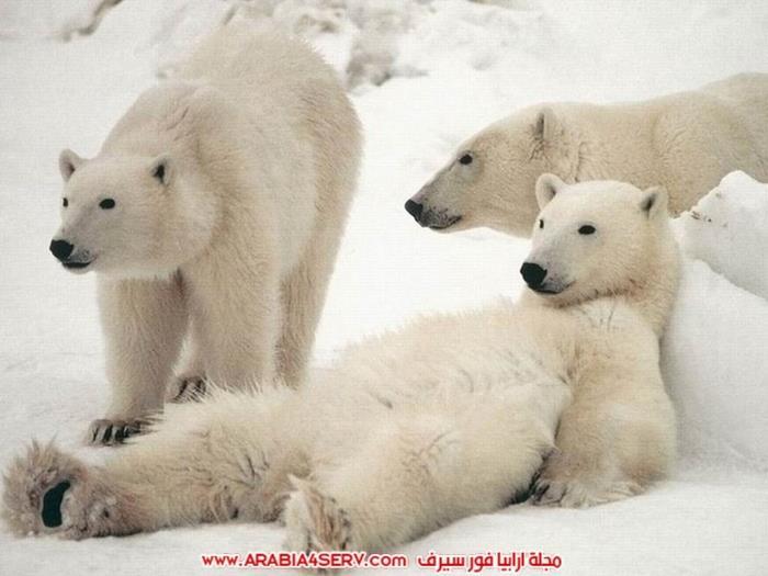 صور-متنوعة-جميلة-للدب-القطبي-الأبيض-12