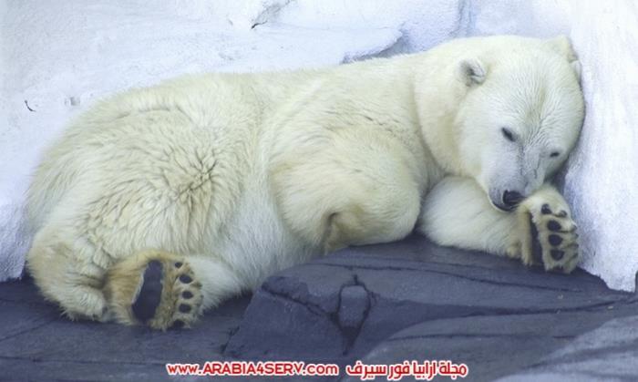 صور-متنوعة-جميلة-للدب-القطبي-الأبيض-15