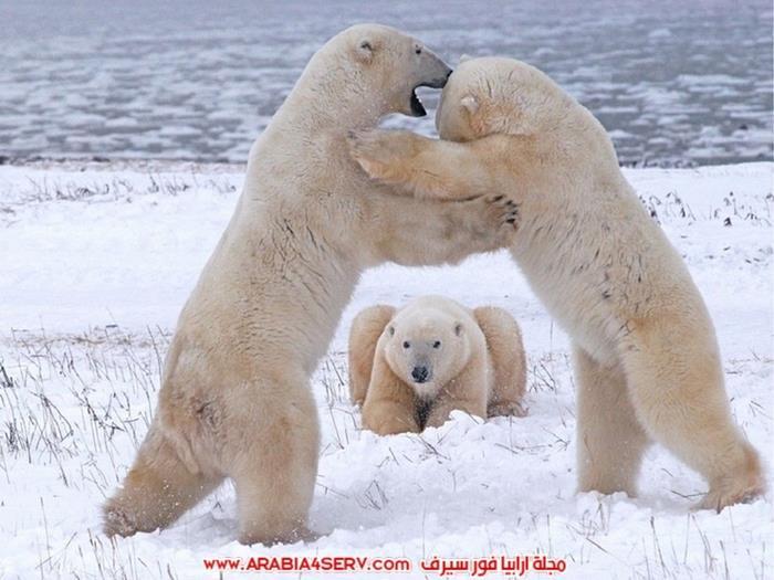صور-متنوعة-جميلة-للدب-القطبي-الأبيض-18