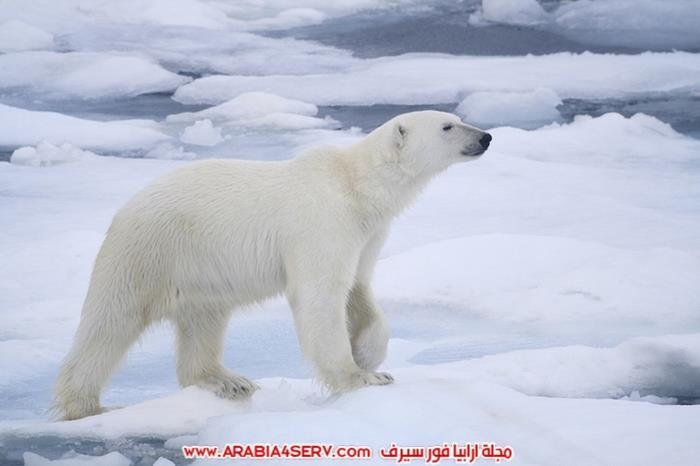 صور-متنوعة-جميلة-للدب-القطبي-الأبيض-20
