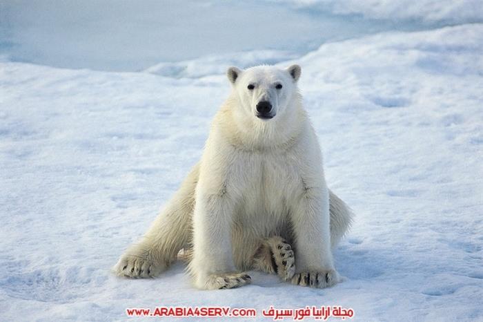 دب قطبي