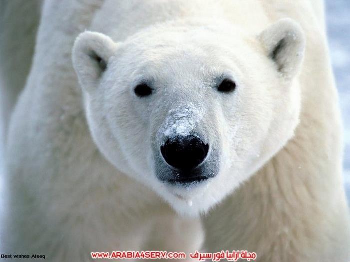 صور-متنوعة-جميلة-للدب-القطبي-الأبيض-8